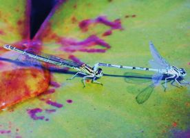 Mating Damsel Flies by Vincent-Malcolm