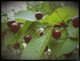 sweet cherry by nudgee