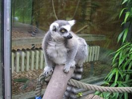 Animals 106 lemur by Dreamcatcher-stock