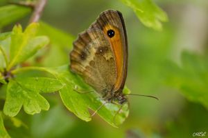 A simple butterfly by MCL28