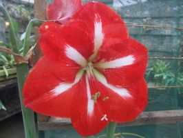 Large Red Flower by TimeWizardStock