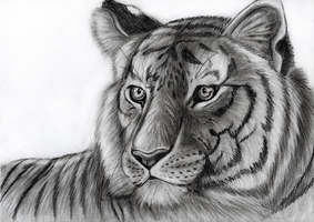 Tiger - speedart by Takas15