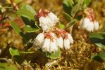 Lingonberry blossoms by duncan-blues