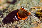 Sunbathing Butterfly by Lambii