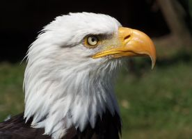 Helga The Bald Headed Eagle by Fragsey