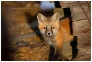 Fox Kit by Nate-Zeman