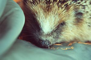 hedgehog baby 4 by Emiliee91