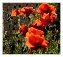 Quelques coquelicots by mimomon