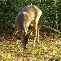 The Forest Deer by Estruda