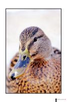 duck addiction by finepix-at