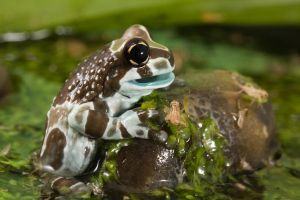 Amazon milk frog by AngiWallace