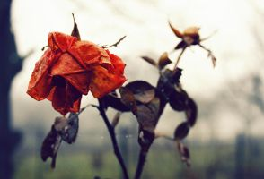old rose by lilly1921