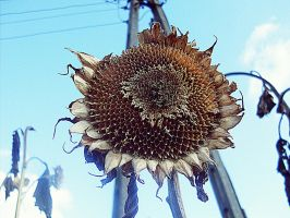 Old sunflower by HaruAya