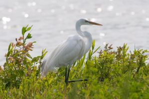 Great Egret in Late Sun by Katastrophey