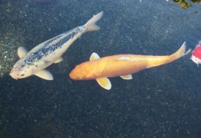 More Koi Fish by GreenEyezz-stock