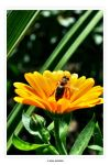 Bee And Flower by Alan-Eichfeld