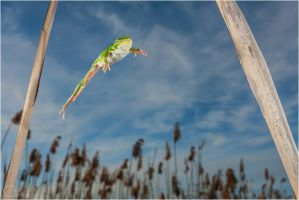 Italian Tree Frog Jump by ClaudeG