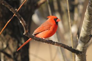 Another Cardinal Photo 2-28-15 by Part-Time-Cowboy