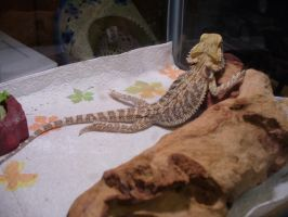 Rascal the bearded dragon by lady5430
