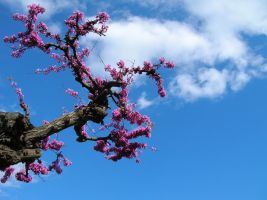 Blossoming Tree by Senshisoldier