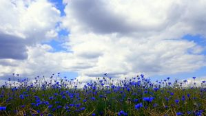 field with blue by Mittelfranke