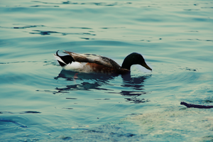 Duck's Luck by thepunkexperience