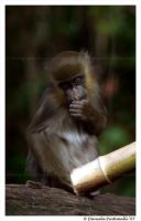 Baby Mandril: Looking cute by TVD-Photography