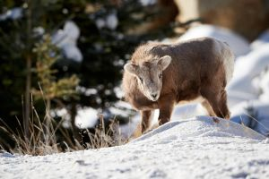 Bighorn Yearling-King of the hill? by JestePhotography