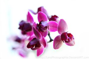 orchideen dream 2.0 by LeroPhotographie
