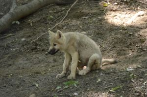 Wolf Pup 2 by Lakela
