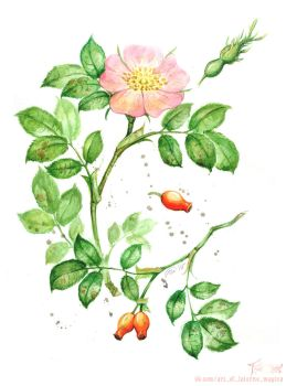 Rosa Canina by Laterne-Magica