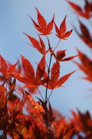 Maple tree by Sabbie89