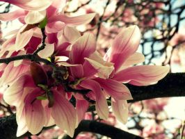 Spring Magnolias (4) by Michies-Photographyy