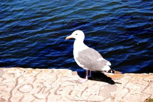 Seagull-Stock by Thorvold-Stock