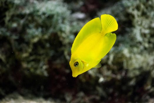 Yellow Tang by Maltese-Naturalist