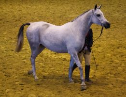 STOCK - Arabian Gala 2013 -30 by fillyrox