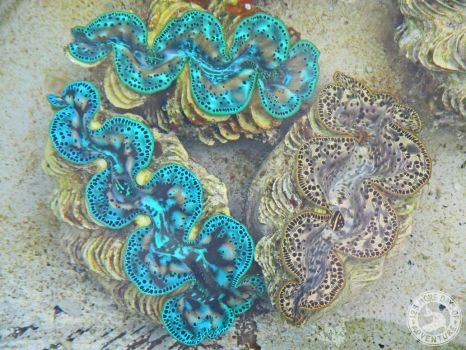 125 More Days - Day 116 - Nursery of Giant Clams 2 by Kimi-Parks