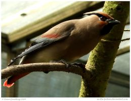 Japanese Waxwing by In-the-picture