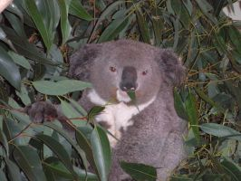 Mr Koala by Katty10