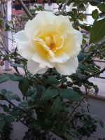 Yellow Rose 2 by sds49in