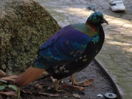 Himalayan monal by photographyflower
