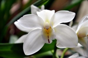 OrChidee BlancHe by Fre-D