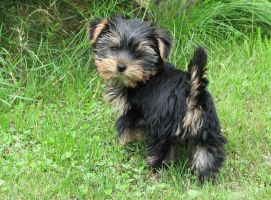 Figa dog Yorkshire Terrier by Bambaryllo