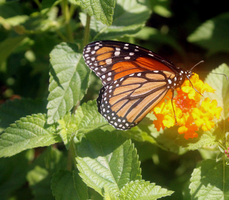 Monarch Butterfly by Daemare