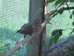Mourning Dove in Aviary 2 by Windthin