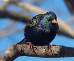 Starling Shine by barcon53