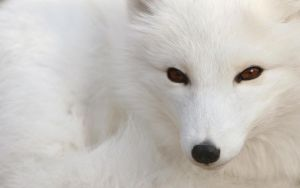 Polar Fox by BubiMandril