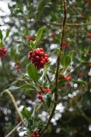 DSC 0023 Holly Berries by wintersmagicstock