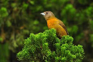 Cherrie's Tanager Female 6561 by robbobert