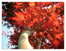 japanese red maple by madtomkidd